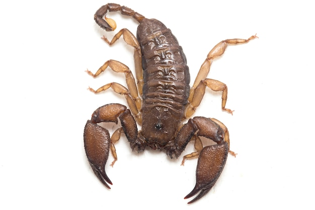 Scorpion bois nain isolé