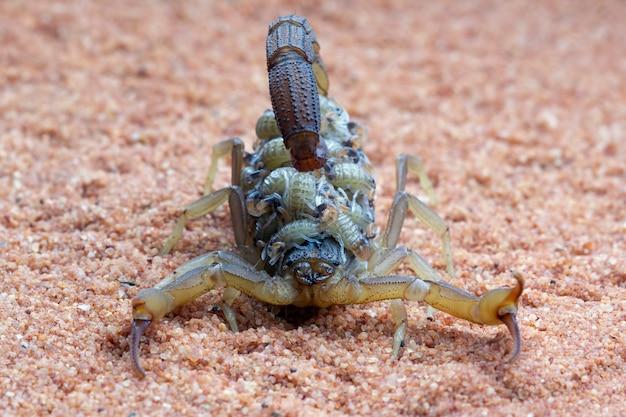 Scorpion hottentotta avec des bébés sur le corps vue de face du scorpion hottentotta