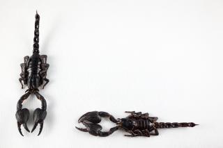 Scorpion noir paire effrayant