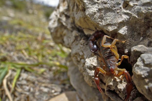 Scorpion perché sur un rocher et inscrit dans son milieu naturel d'espèces inconnues.