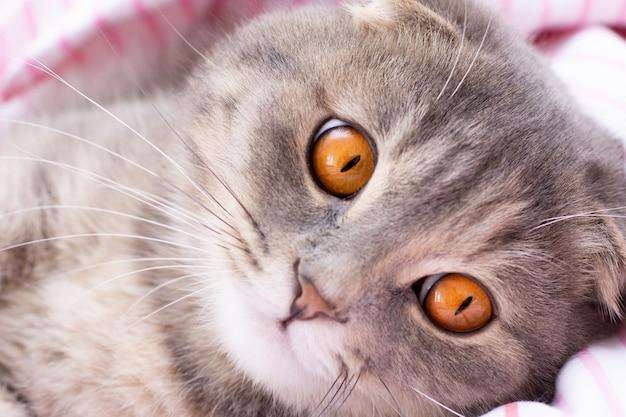 Scottish fold cat face aux grands yeux orange se bouchent