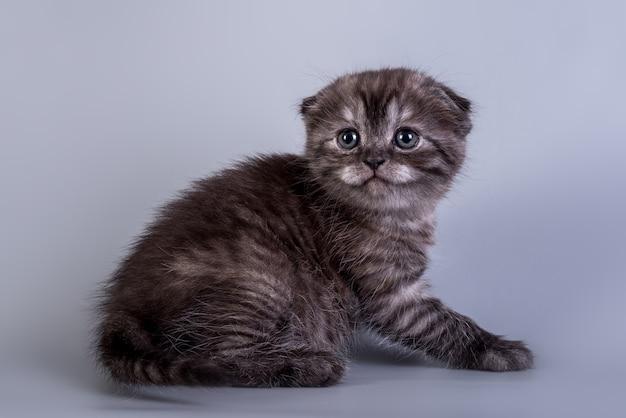 Scottish fold petit chaton mignon couleur argent tabby