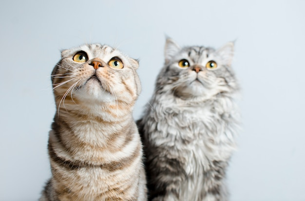 Scottish fold et scottish pryamouhy, chats en marbre bleu. sur un whi