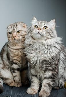 Scottish prick et scottish fold sont assis côte à côte. animal