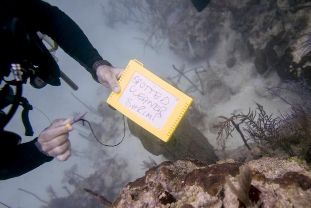 Scuba diver tenant une ardoise sous l'eau avec l'expression «spotted cleaner shrimp» écrit dessus, bay islan