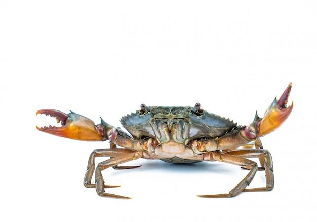 Scylla serrata. crabe de boue isolé sur fond blanc avec espace de copie