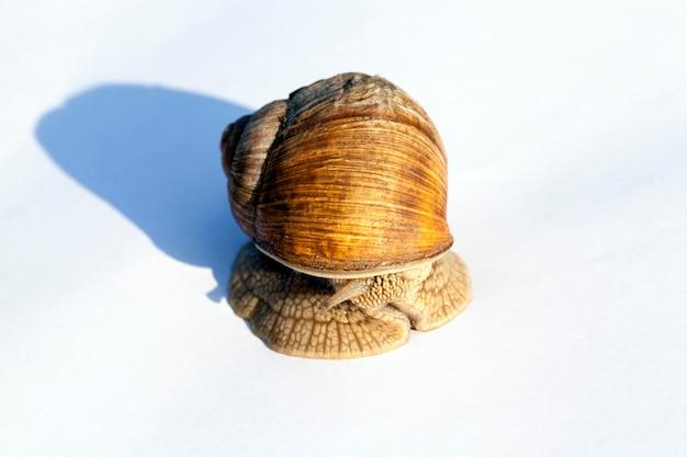 Se cacher dans la coquille de l'escargot de jardin. d'un ventre sur une feuille de papier blanc. non isolé sur une surface blanche