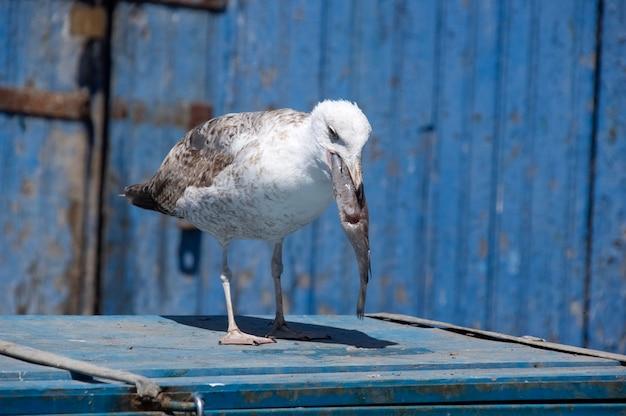 Seagull attrape le poisson. essaouira. maroc. afrique
