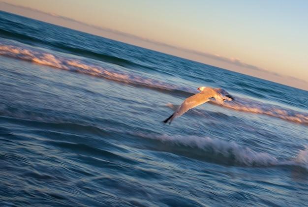 Seagull au coucher du soleil sur la plage de can picafort, majorque