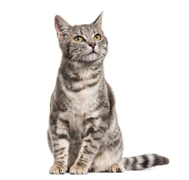 Séance de chat métis gris dépouillé, isolé sur blanc