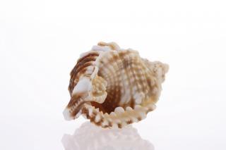 Seashell, corail