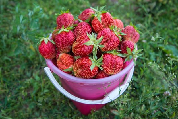 Seau avec une récolte de grosses fraises rouges sucrées dans l'herbe verte dans le jardin d'été