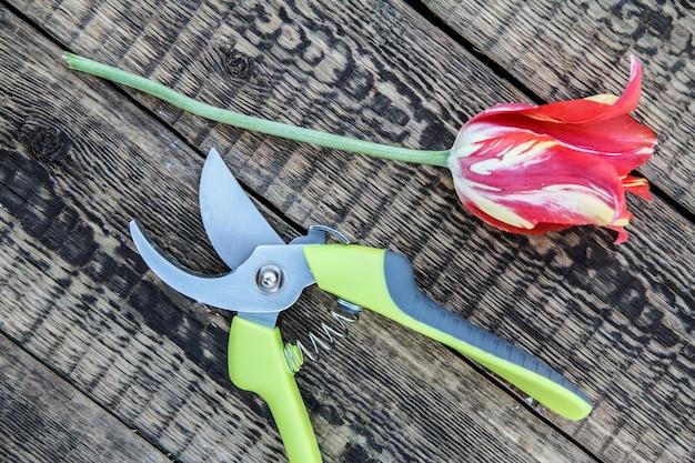 Sécateur et tulipe coupée sur planche de bois. outils et équipement de jardin