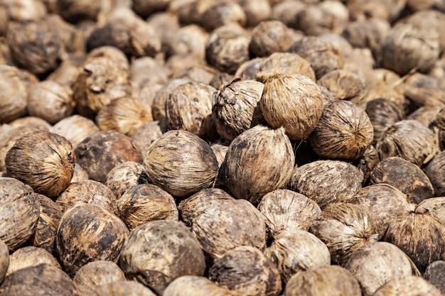 Séchage des noix de bétel