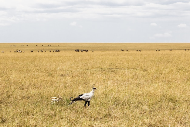 Secrétaire bird à la recherche de proies kenya afrique