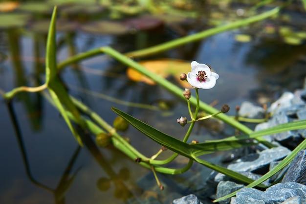 Section d'un petit étang envahi par la floraison, gros plan en pointe de flèche par une journée ensoleillée