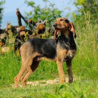 Segugio italiano chien