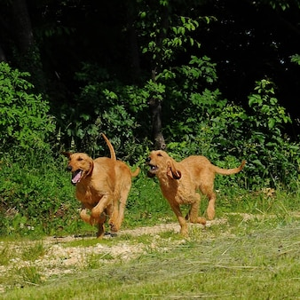 Segugio italiano chiens
