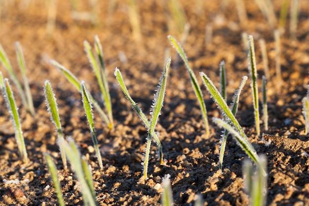 Seigle d'hiver ou blé recouvert de cristaux de glace et de gel pendant les gelées hivernales