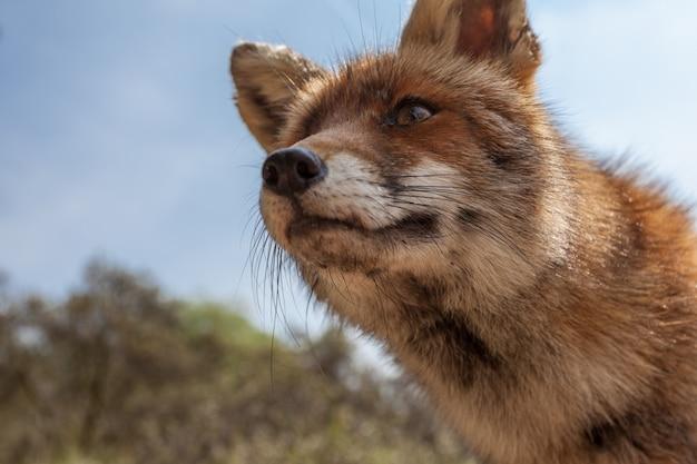 Séjour renard
