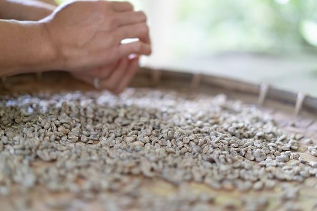 Sélection de haricots verts biologiques secs dans le traitement du café