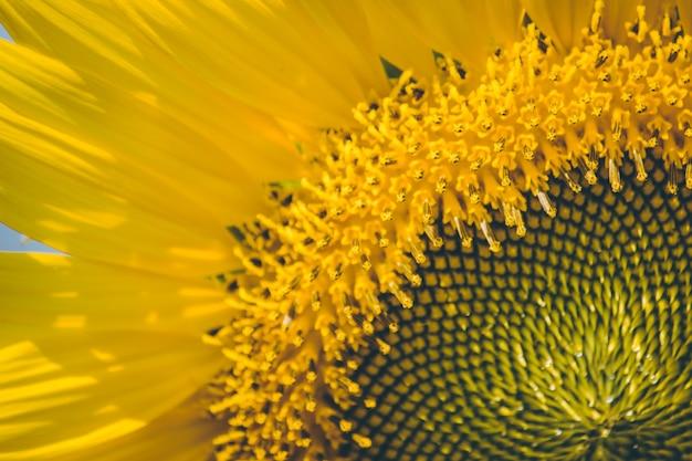 Sélectionnez le focus le pollen de tournesol fleurit en une journée ensoleillée.