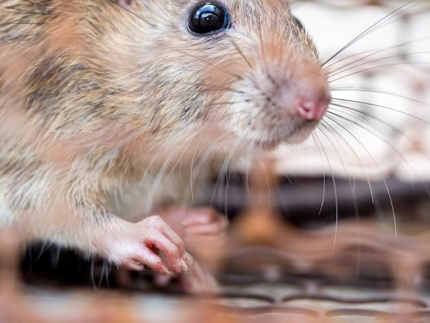 Sélectionnez la mise au point de l'ongle du rat dans le pseudo