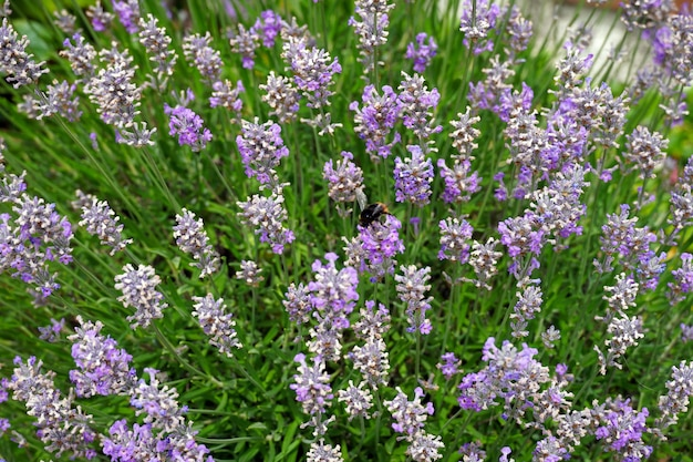 Selective focus shot d'un bourdon se nourrissant de fleurs de salvia lavanduloides