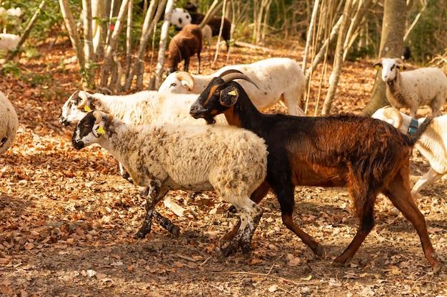 Selective focus shot de chèvres (capra aegagrus hircus), parc naturel du montseny