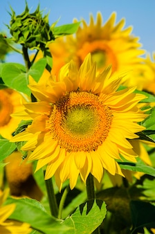Semé avec champ de tournesols en fleurs en été