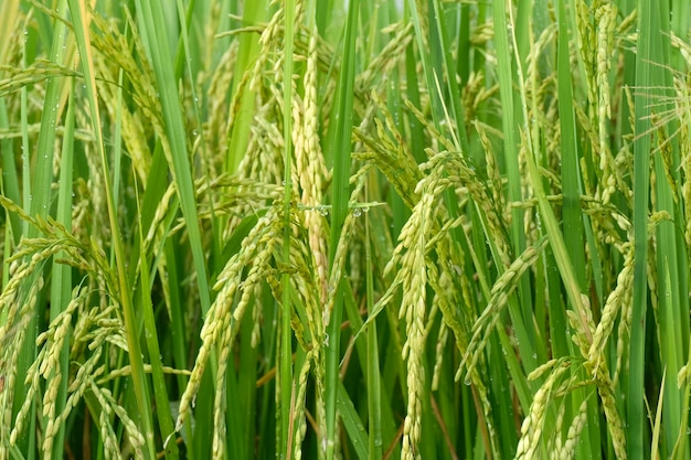 Semences de riz jeune
