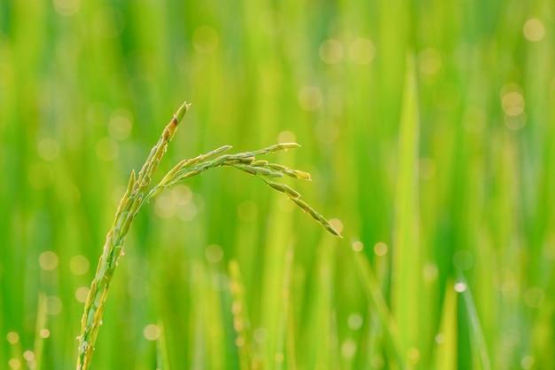 Semer du riz dans la nature