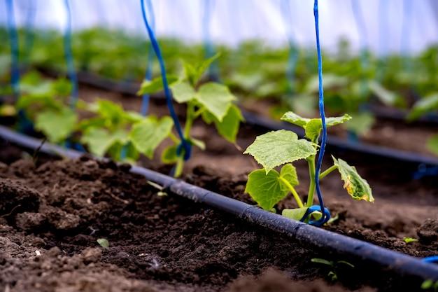 Semis de concombres dans une serre sur irrigation.