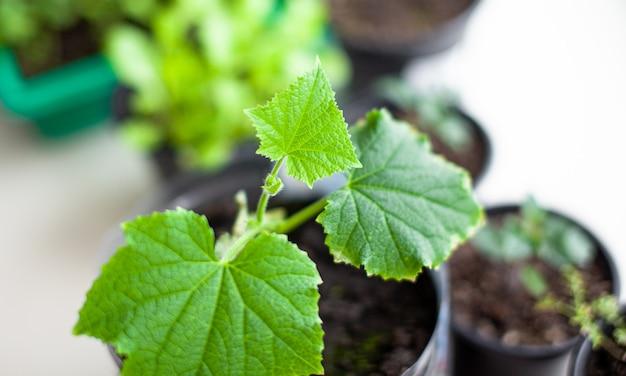 Semis de concombres et de plantes dans des pots de fleurs près de la fenêtre, un gros plan de feuille verte. cultiver des aliments à la maison pour un mode de vie écologique et sain. cultiver des semis à la maison pendant la saison froide