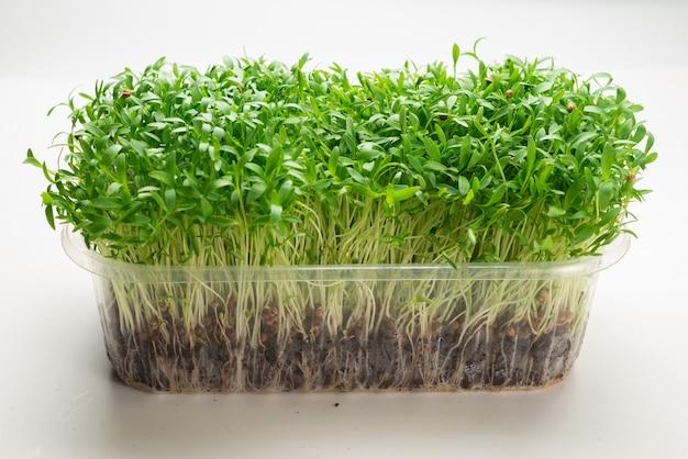 Les semis de coriandre fraîche dans un récipient en plastique isolé sur blanc