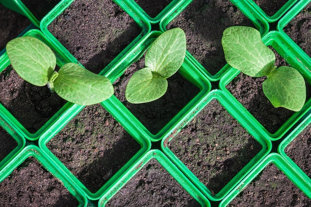 Semis de courgettes dans des récipients en plastique vert germination de graines de légumes