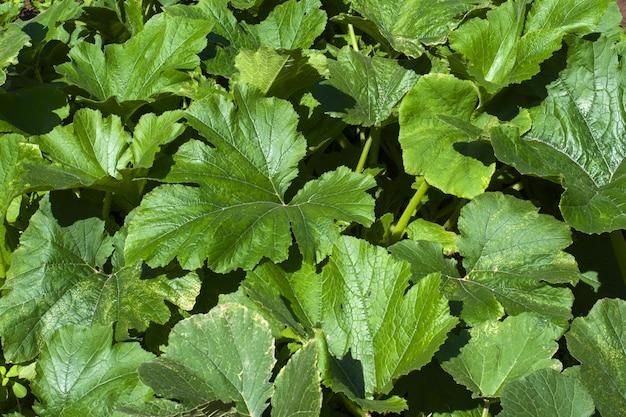 Semis de courgettes poussant sur un lit de légumes, culture et plantation de courgettes, jeunes plants de courgettes dans le jardin