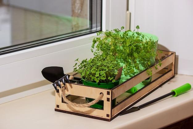 Les semis cultivés à partir de graines à la maison, sur un rebord de fenêtre. concept: préparer la saison estivale, un loisir utile