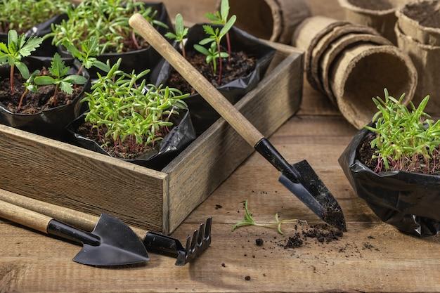 Semis dans une boîte en bois transplantation de jeunes pousses de fleurs dans des pots de tourbe à l'aide d'outils de jardin