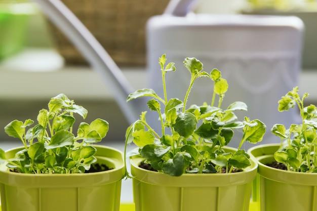Semis de fleurs dans des pots en plastique vert
