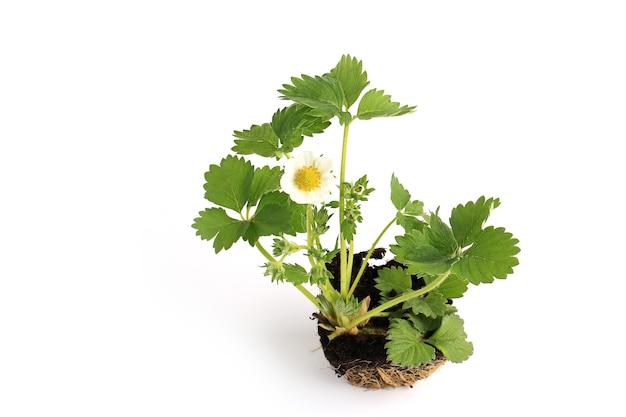 Semis de fraise avec fleur isolé sur fond blanc