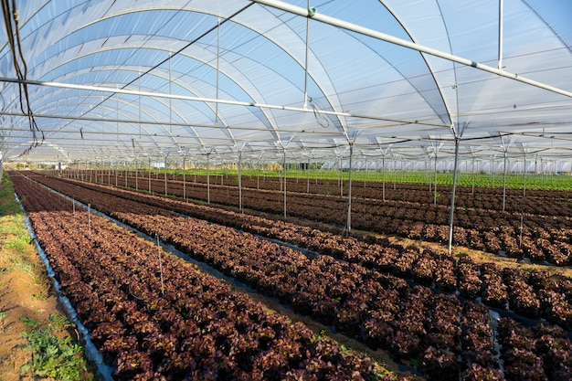 Les semis de laitue biologique fraîche en serre à l'extérieur