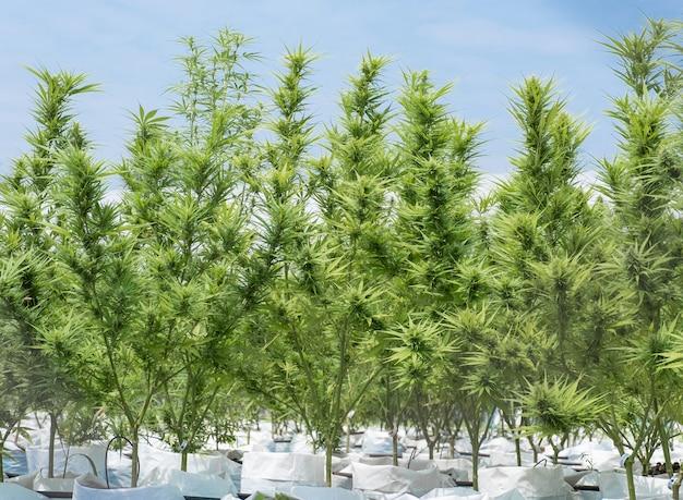 Semis de marijuana ou de chanvre dans une ferme agricole en plein air, herbes pour un traitement alternatif.