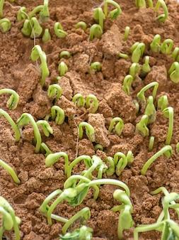 Semis de melon d'hiver qui poussent à partir de graines dans le sol