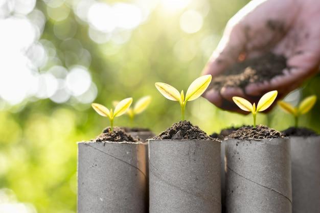Les semis ont été plantés dans le papier hygiénique, concept écologique.