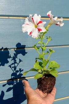 Semis de pétunia avec une fleur blanche avec des rayures rouges dans les mains d'un jardinier. photo en gros plan avec des ombres et un flou sélectif