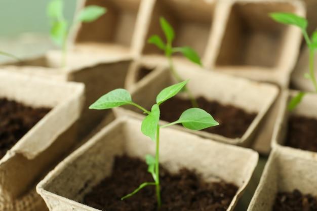 Les semis de plantes dans des pots de tourbe