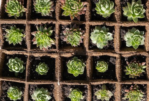 Semis de plantes succulentes dans des pots de mousse de tourbe biodégradables. vue de dessus.