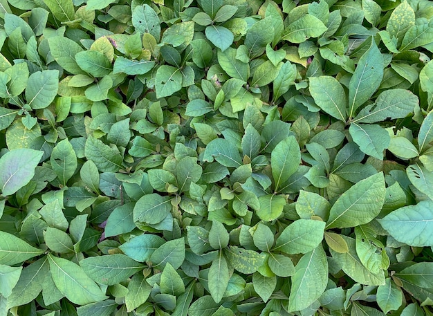 Semis de plants de teck dans la pépinière à gunung kidul, yogyakarta, indonésie