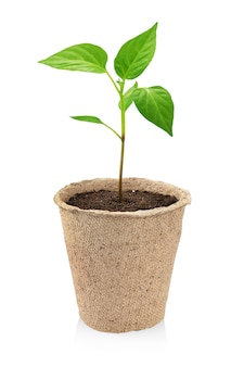 Semis de poivre dans un pot de démarrage de tourbe brune isolé